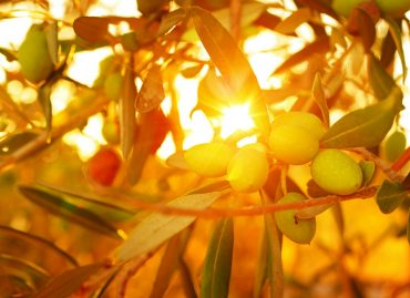 The Olive Tree, the Holy Grail of Health & Beauty